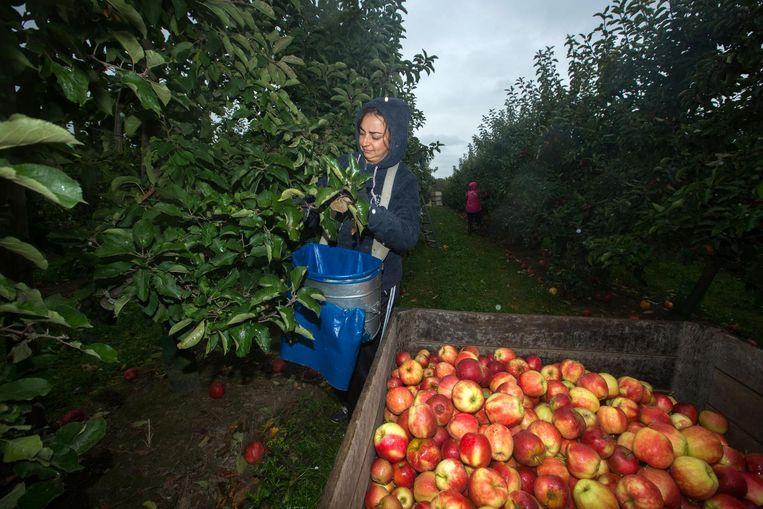 Appels plukken in de boomgaard van Kris Franssens. Beeld Mine Dalemans