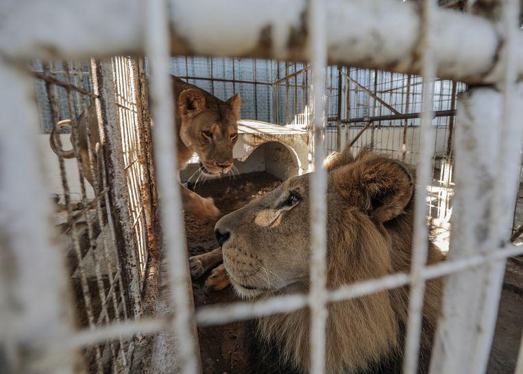 De leeuwen zitten in klein kooien.
