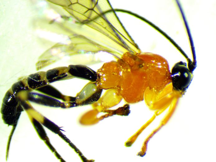 Zo ziet de nieuw ontdekte wesp eruit.
