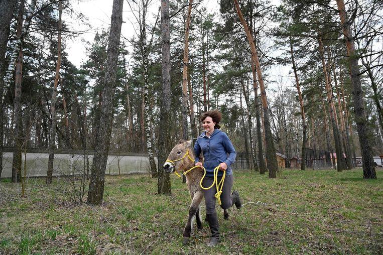 Een medewerker van een opvangcentrum bij Kiev rent met een przewalskipaard dat revalideert na een grote bosbrand dit jaar bij Tsjernobyl. De populatie van deze paarden dijt in dit radioactieve gebied enorm uit, vooral omdat de mensen zijn vertrokken.  Beeld AFP