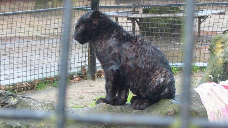 Een bij de moeder weggehaalde luipaardwelp, werd door de Olmense Zoo in een ronde kooi (langs alle kanten tot tegen de tralies te benaderen door het publiek) geplaatst, zonder afdoende beschutting - met dit resultaat als het regent.