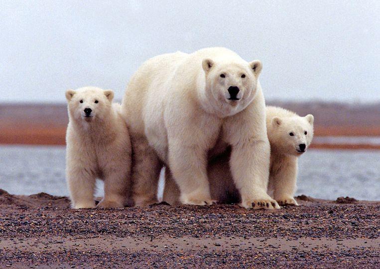 IJsberen in het  Arctic National Wildlife-park in Alaska.  Beeld REUTERS