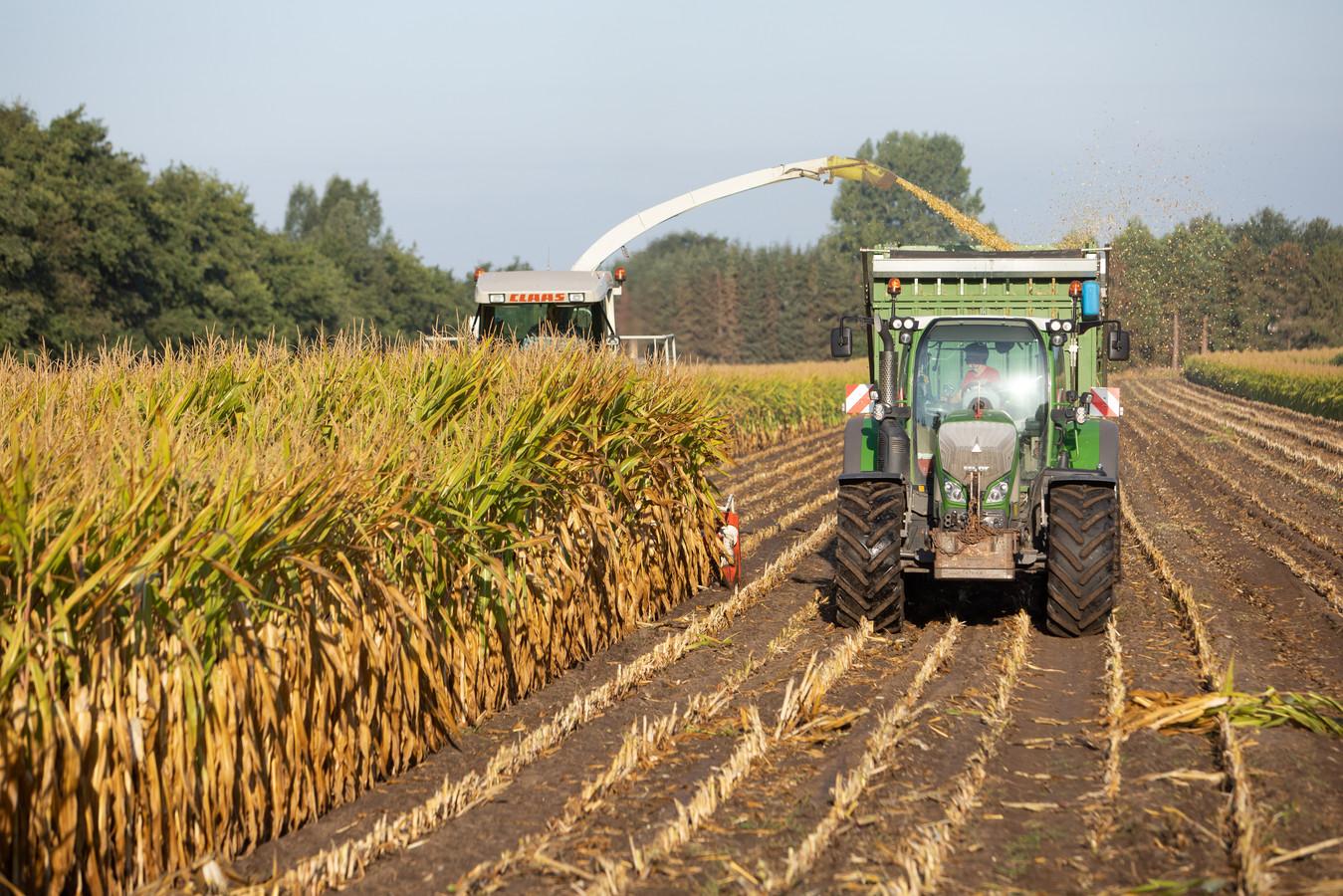 De boeren oogsten vrijwel alleen verschrompelde, droge maïs. Foto Caspar Huurdeman