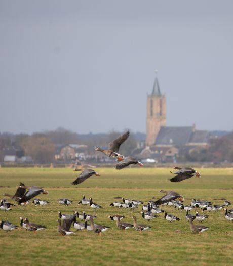 Trekganzen zijn lovebirds: vrouwtje 476 en mannetje 477 zijn monogamer dan monogaam
