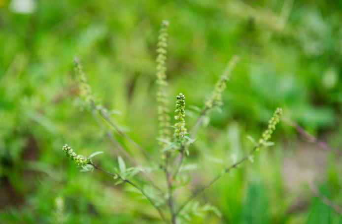 De ambrosia, ook wel hooikoortsplant genoemd.