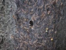 Amersfoort verwijdert duizenden nesten van eikenprocessierups