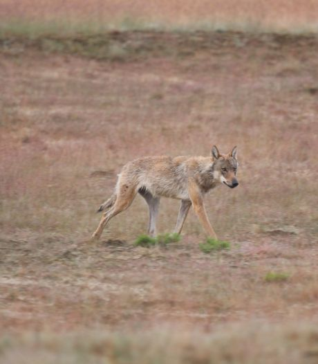 'Barneveld moet zorgen over wolf kenbaar maken bij de provincie'