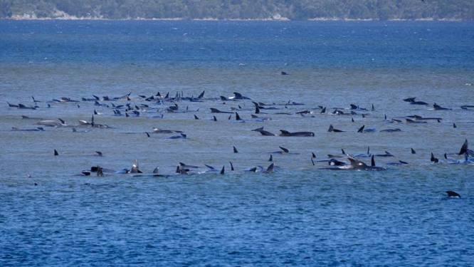 Groep van 250 walvissen vast op zandbank in Australië