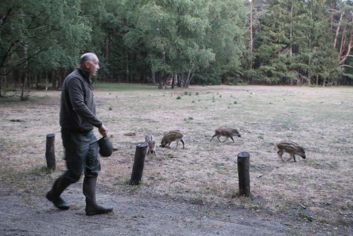 De boswachter grijpt in en dirigeert de wilde zijnen richting het bos.