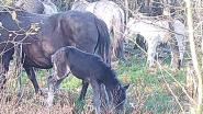Babygeluk op Wortel Kolonie: twee jonge veulens in kudde Konikpaarden