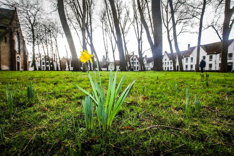 Brugge Begijnhof eerste bloem bloeit