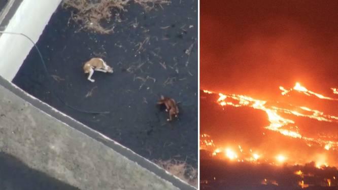 Door lava ingesloten honden op La Palma gered door onbekend team