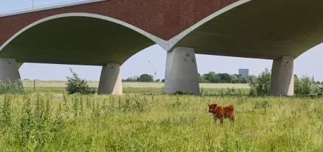 Zoektocht naar eenzaam kalfje; je kunt nog gewoon lopen tussen runderen die vrouw op hoorns namen
