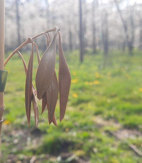 Winter te Hollands voor olijfboomgaard Loosbroek