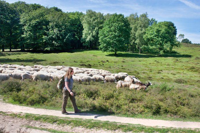 Herder Cynthia Berendsen met de Rhedense schaapskudde.