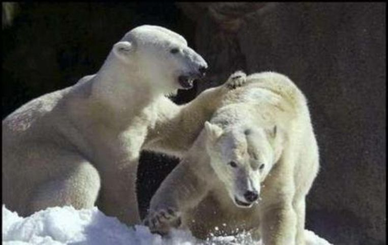 IJsberen hebben wel degelijk te lijden onder de global warming.