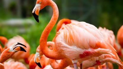 Zoo laat flamingo inslapen nadat kind steen naar dier gooit