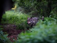 Vughtse fotograaf doorkruiste half Europa voor de wolf, die nu naar haar toegekomen is