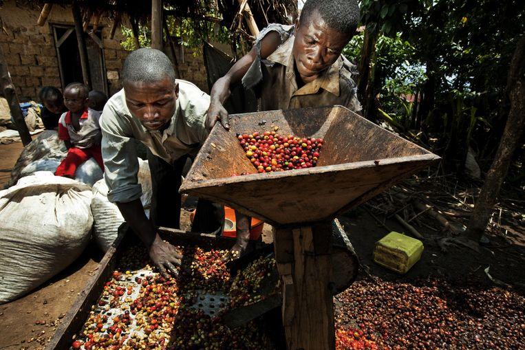 Koffieoogst in Bukavu, Congo. De meeste mensen op het Congolese platteland leven in armoede, maar dat neemt niet weg dat de fundamentele bestanddelen aanwezig zijn. Beeld TIM DIRVEN