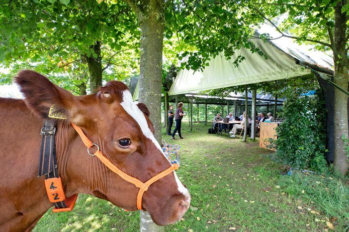 Eén van de twee koeien bij GS van Gelderland tijdens de vergadering onder het Bomendak bij De Toltuin, terwijl de boerinnen de provinciebestuurders toespreken.