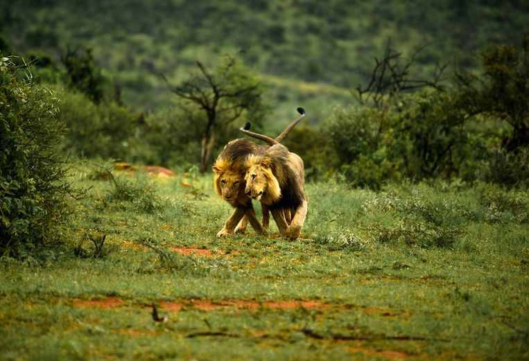 Beeld van twee mannelijke leeuwen ter illustratie.