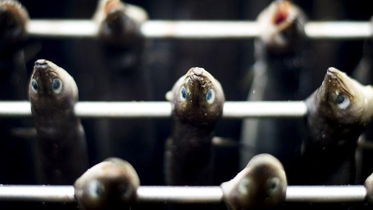 Paling in de oven tijdens het Nederlands Kampioenschap Palingroken Beeld ANP