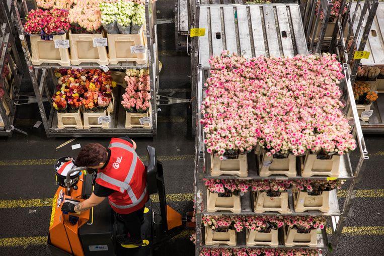 De bloemenveiling Aalsmeer verwacht dat Nederlandse telers straks beduidend minder bloemen in het Verenigd Koninkrijk kunnen verkopen. Het VK is nu nog de tweede afnemer, na Duitsland. Beeld Arie Kievit