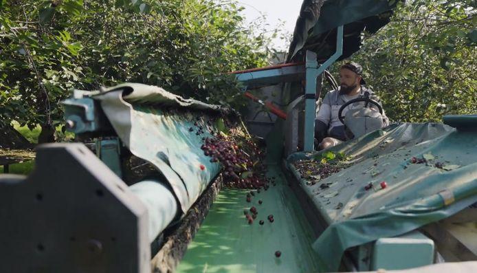 Fruitboerderij Baarlo kersen waarvan ZLTO en Boerschappen helpen om kersensap te verkopen.