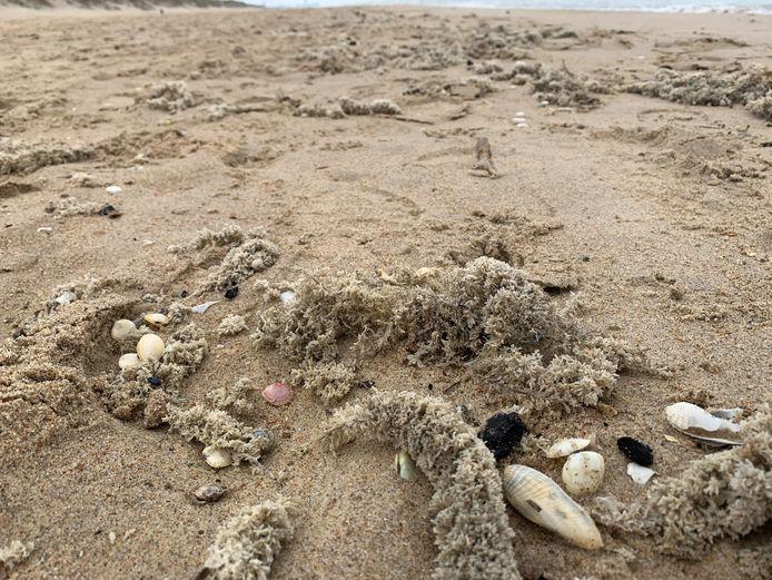 Deze mosdiertjes werden op het strand in De Haan gespot door Carine Van Goethem op 5 juni.