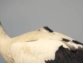 """Dit leren zendertjes op ooievaars in 't Zwin de wetenschappers: """"Ze vliegen niet verder dan Marokko, keren in de winter vaak terug naar hun vertrouwde plek en vuilnisbelten zijn populair"""""""