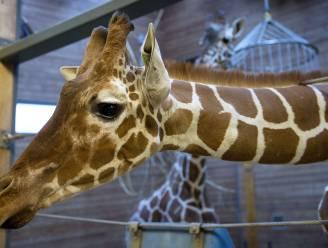 Schokkende beelden: zoo voedert gezonde giraf aan de leeuwen