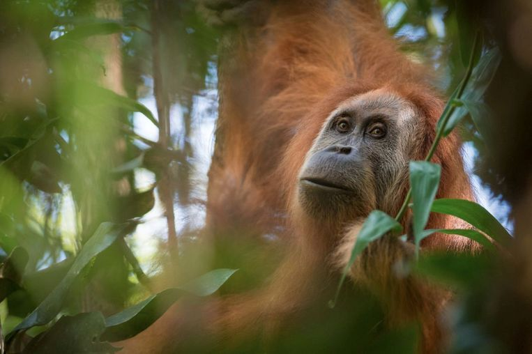 De ontbossing bedreigt verschillende diersoorten, waaronder de orang-oetans. Zij zijn vooral thuis in de regenwouden van Borneo en Sumatra, waar heel wat natuur moet wijken voor de oliepalmplantages.