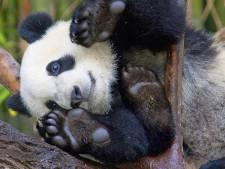 Le thé le plus cher du monde à base de fientes de pandas