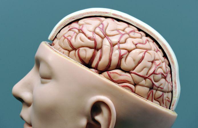 Hersenen van de mens