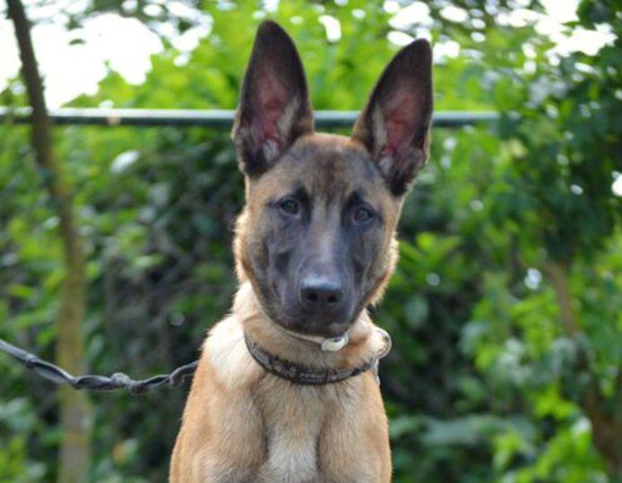 Hond Bertje is de ster van dierentehuis Leerdam: na zijn verblijf in het asiel werkt hij nu als reddingshond.