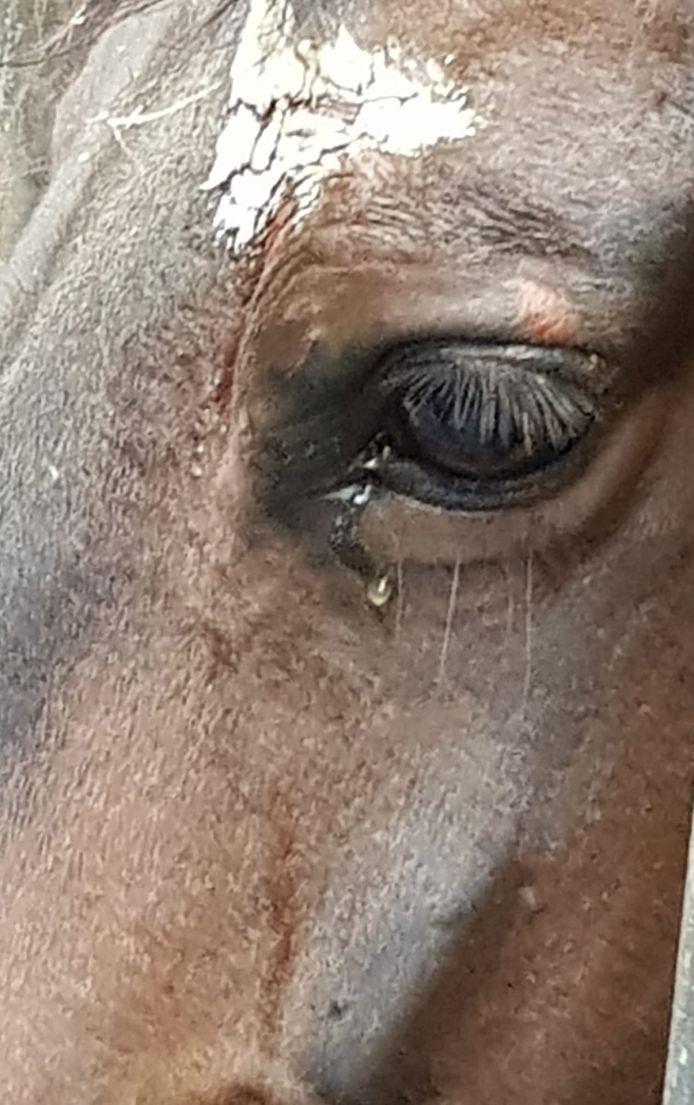 Het 'huilende' paard in Sprundel