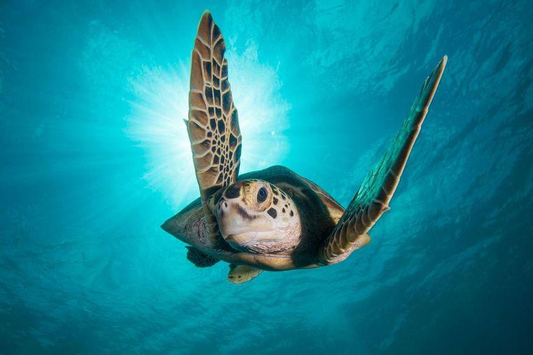 Still uit Blue Planet 2 van de groene zeeschildpad, een beschermde diersoort. Beeld Jason Isley Stills from Blue Planet