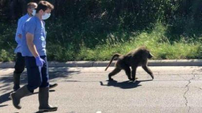 Vier bavianen ontsnappen uit labo en geven werknemers een workout