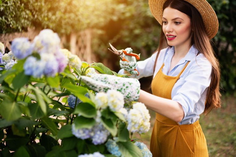 Beautiful, young woman is working in her garden. She is cutting the Hydrangea plant. Beeld Getty Images