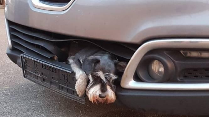 Vrouw rijdt hondje aan zonder het te beseffen. Uren later ontdekt ze geknelde viervoeter in autobumper