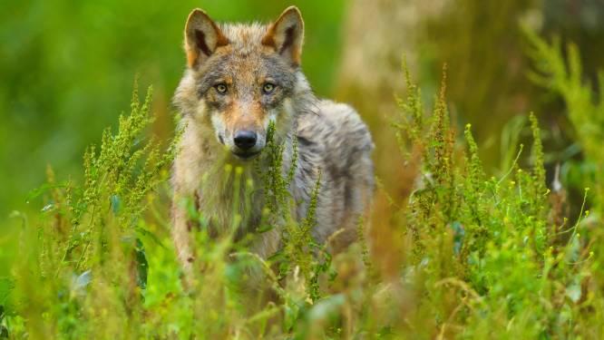 Duitse natuurbeschermers slaan alarm over tiental gedode wolven