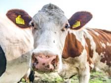 Verwarring na brand bij Twence: mogen koeien rond Hengelo nu wel of niet naar buiten?