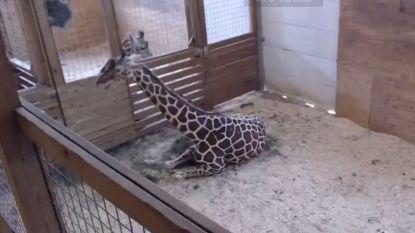 """""""Te seksueel expliciet"""": YouTube haalt livestream van bevalling giraf (even) offline"""