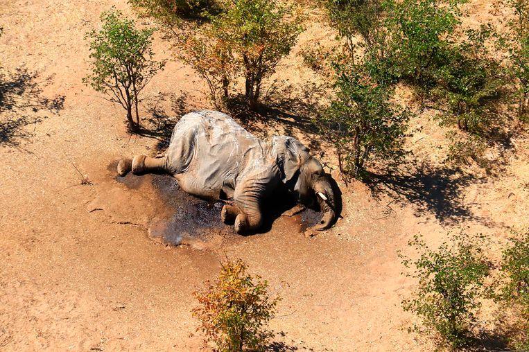 Een overleden olifant in de Okavangodelta in Botswana.  Beeld AP