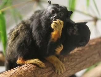 Aapjes apen 'accent' andere apen na voor onderlinge verstandhouding