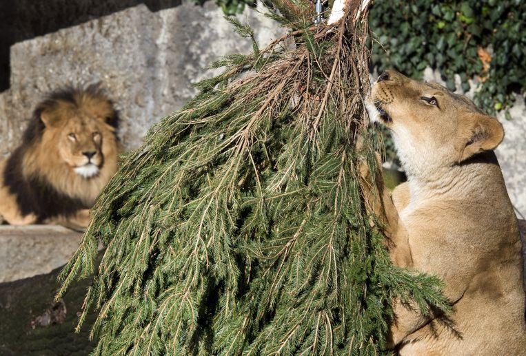 De leeuwen van Artis verhuizen half februari naar een dierenpark in Zuid-Frankrijk. Beeld ANP