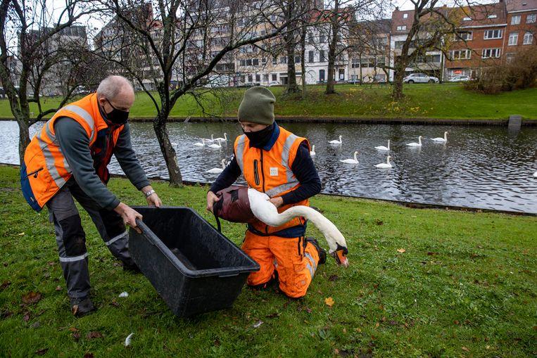 In het centrum van Brugge moesten meer dan 100 zwanen gevangen worden in verband met de ophokplicht. Beeld BELGA