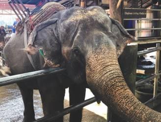 Vastgeketend aan korte kettingen en in onhygiënische omstandigheden: olifantenleed in Thailand fors gestegen
