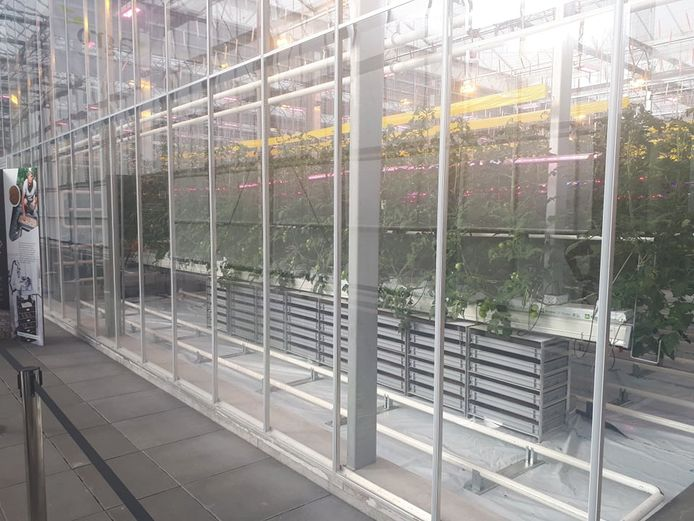 Nu al gebeurt er onderzoek naar de combinatie van tomatenteelt en meelwormen in dezelfde serre.