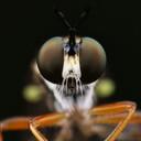 De gewone bladjager (Dioctria hyalipennis). Een slanke roofvlieg met een opmerkelijk snorretje.